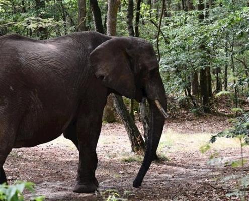 Olifant in het bos